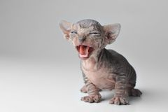 Cierre calvo lindo del gato del bebé para arriba Imágenes de archivo libres de regalías