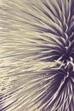 Cierre claveteado de la planta del agavo para arriba Foto de archivo