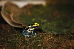 Cierre coloreado minúsculo exótico de la rana encima del reptil imágenes de archivo libres de regalías