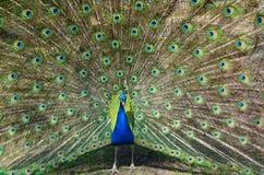 Cierre colorido de la cola de los pavos reales para arriba Plumas brillantes de los pavos reales Imagen de archivo