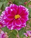 Cierre colorido de la flor de la dalia para arriba Fotos de archivo libres de regalías