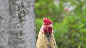 Cierre colorido del pollo del gallo para arriba imagenes de archivo