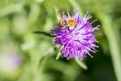 Cierre común de Carder Bee para arriba en el Centaurea hermoso Scabiosa Knapw Fotos de archivo