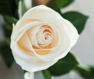 Cierre cremoso de la rosa para arriba Fotografía de archivo