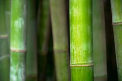Cierre de bambú para arriba en la arboleda de bambú foto de archivo