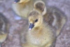 Cierre de Gosling para arriba Fotos de archivo libres de regalías