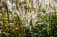 Cierre de Hardy Pampas Grass encima de la fotografía Imagenes de archivo