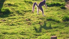 Cierre de HD encima del vídeo de los funcionamientos del lémur a lo largo de la hierba verde metrajes