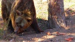 Cierre de HD encima del v?deo del oso de Brown Él come zanahorias ?l est? en el bosque almacen de metraje de vídeo
