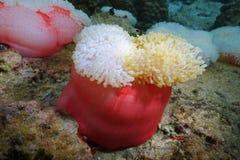Cierre de Heteractis Magnifica de la anémona de mar encima de Tahití imagen de archivo