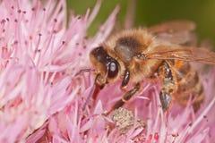 Cierre de la abeja Foto de archivo libre de regalías