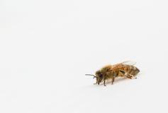 Cierre de la abeja de la miel para arriba Fotografía de archivo libre de regalías