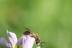 Cierre de la abeja de la miel para arriba con el fondo verde claro Imágenes de archivo libres de regalías