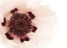 Cierre de la amapola blanca para arriba imagen de archivo libre de regalías
