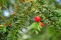 Cierre de la baya del árbol del tejo para arriba Fotografía de archivo libre de regalías