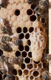 Cierre de la célula de la reina de la abeja de la miel para arriba Fotos de archivo libres de regalías