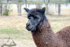Cierre de la cabeza de la alpaca del lama para arriba imagen de archivo libre de regalías