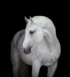 Cierre de la cabeza de caballo blanco para arriba, en negro Imágenes de archivo libres de regalías