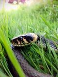 Cierre de la cabeza de la serpiente de hierba del reptil para arriba Imágenes de archivo libres de regalías