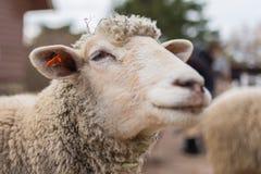 Cierre de la cabeza de las ovejas para arriba Animales del campo Fotografía de archivo libre de regalías