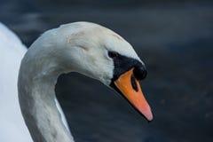 Cierre de la cabeza del cisne para arriba en fondo azul fotos de archivo