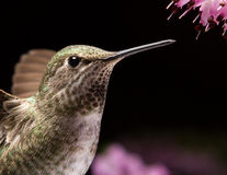Cierre de la cabeza del colibrí para arriba foto de archivo