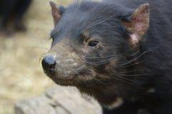 Cierre de la cabeza del diablo tasmano para arriba Fotos de archivo