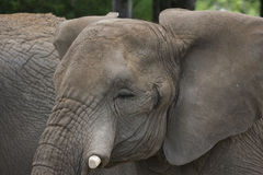 Cierre de la cabeza del elefante para arriba en un safari del parque Imagen de archivo