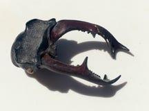 Cierre de la cabeza del escarabajo de macho para arriba fotos de archivo