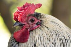 Cierre de la cabeza del pollo para arriba Fotografía de archivo