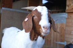 Cierre de la cabra del Boer encima de 2 Imagenes de archivo