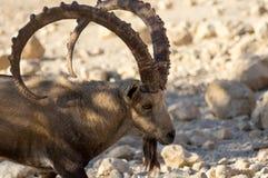 Cierre de la cabra de monta?a para arriba, cuerno grande Trofeo de la caza imágenes de archivo libres de regalías