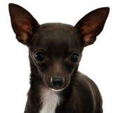 Cierre de la cara de la chihuahua para arriba Imagen de archivo libre de regalías