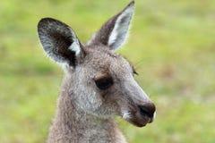 Cierre de la cara del canguro encima del tiro Foto de archivo libre de regalías