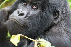 Cierre de la cara del gorila para arriba imagen de archivo