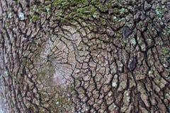 Cierre de la corteza de árbol encima de la textura seca y áspera imagen de archivo