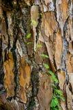 Cierre de la corteza del árbol para arriba Foto de archivo libre de regalías