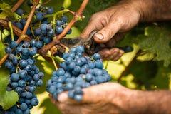 Cierre de la cosecha de la uva para arriba Foto de archivo