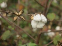 Cierre de la cosecha del algodón encima del foco Imagenes de archivo