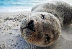 Cierre de la cría de foca para arriba Fotografía de archivo libre de regalías