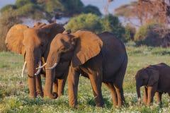 Cierre de la familia de los elefantes para arriba kenia Foto de archivo libre de regalías