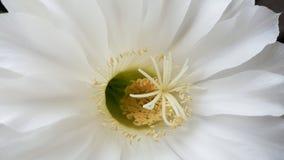 Cierre de la flor blanca para arriba Fotos de archivo libres de regalías