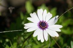 Cierre de la flor blanca para arriba Fotografía de archivo libre de regalías