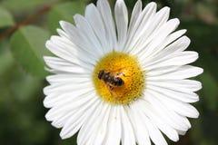 Cierre de la flor blanca para arriba con la abeja en ella Imagen de archivo