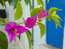 Cierre de la flor de la buganvilla para arriba Fotos de archivo