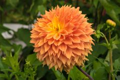Cierre de la flor de la dalia para arriba Imágenes de archivo libres de regalías