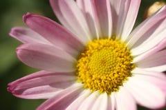 Cierre de la flor de la dalia para arriba Foto de archivo