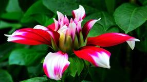 Cierre de la flor de la dalia para arriba Imagenes de archivo