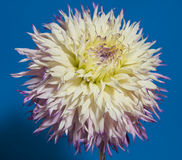 Cierre de la flor de la dalia para arriba Fotografía de archivo