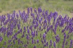 Cierre de la flor de la lavanda para arriba en un campo con las abejas Fotos de archivo libres de regalías